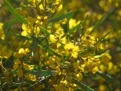 RC23 senna flowers